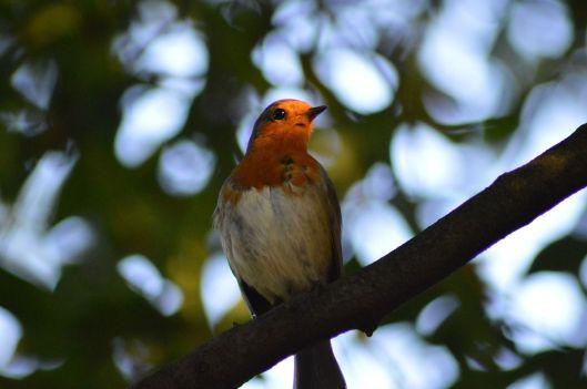 Robin.  Source:  Pixabay